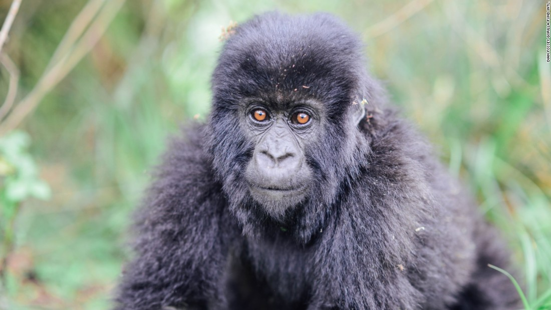 A young mountain gorilla is among the animals the Dian Fossey Gorilla Fund protects in Volcanoes National Park, Rwanda.