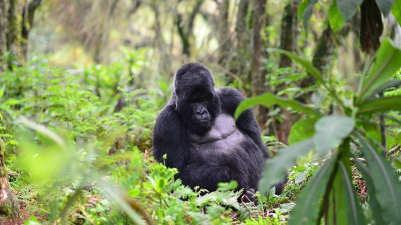 A silverback mountain gorilla is protected by the Dian Fossey Gorilla Fund in Volcanoes National Park, Rwanda.