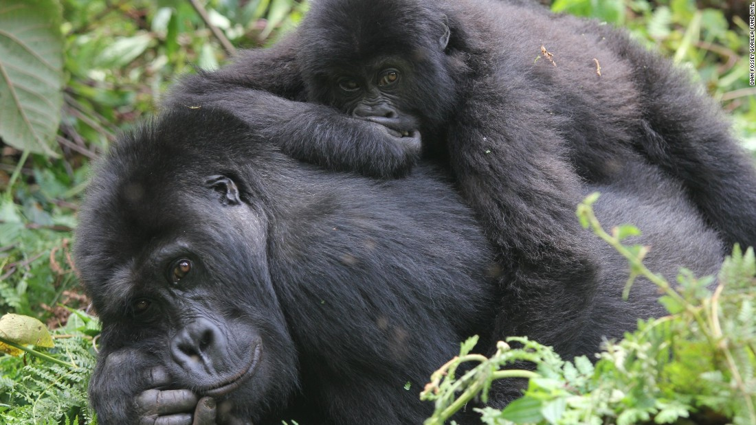 Eastern lowland gorillas relax in Kahuzi-Biega National Park in Democratic Republic of the Congo.