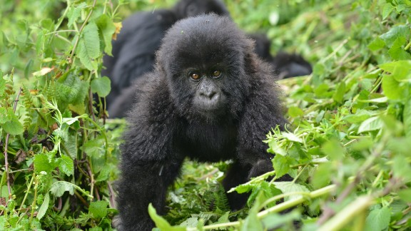 An infant mountain gorilla is protected by the Dian Fossey Gorilla Fund in Volcanoes National Park, Rwanda.