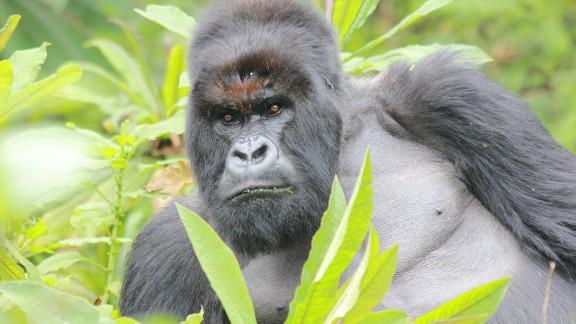 A silverback mountain gorilla surveys the surroundings in Volcanoes National Park, Rwanda.