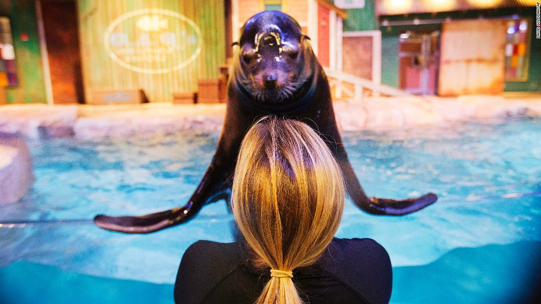 Trainer Catrina Bloomquist works with Nav, a rescued California sea lion, at the Georgia Aquarium in Atlanta on Monday, March 28. Nav and other sea lions are part of a new exhibit at the aquarium.