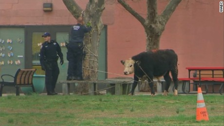 NYPD officers capture an escaped bull on the campus of York College in New York.