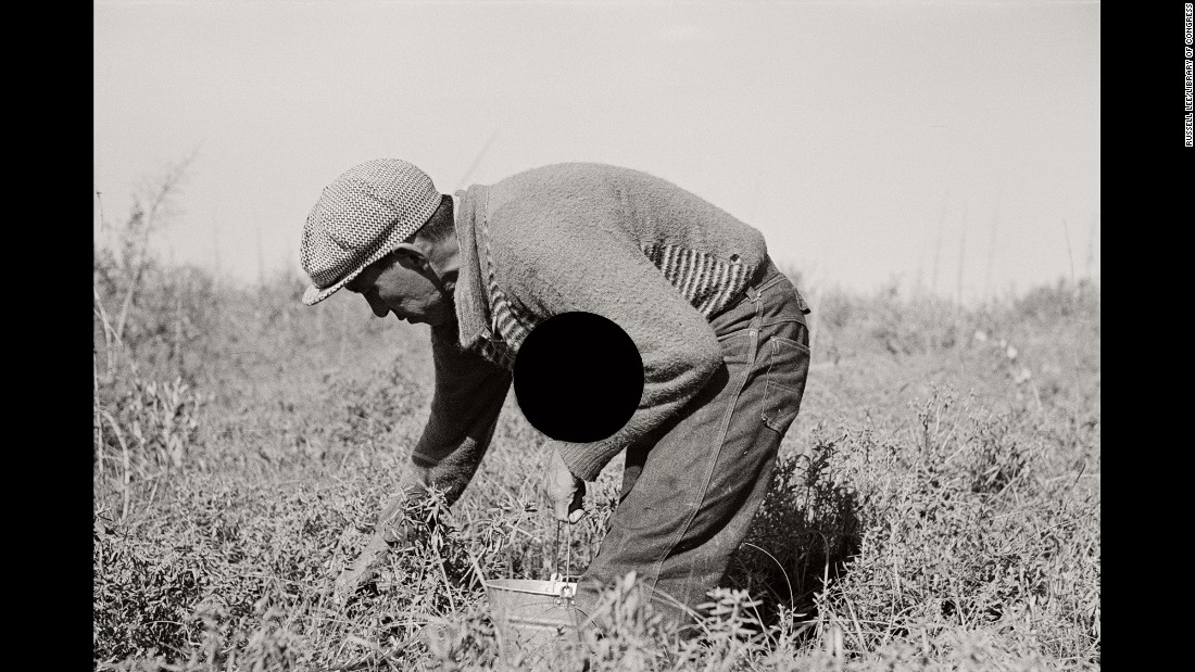 A man picks blueberries near Little Fork, Minnesota, in 1937.