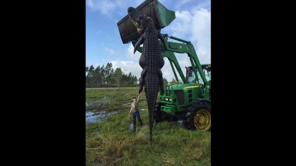 The alligator was hunted in Florida on Saturday.