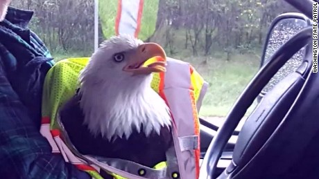 bald eagle hits truck on highway pkg_00012425