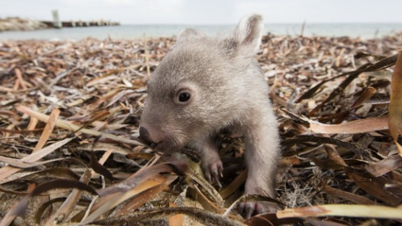An image of then eight-month old Derek the Wombat who was rescued from his mother