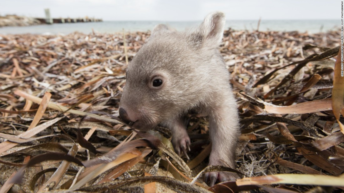 Wombat poop: Scientists have finally discovered why it's cubed