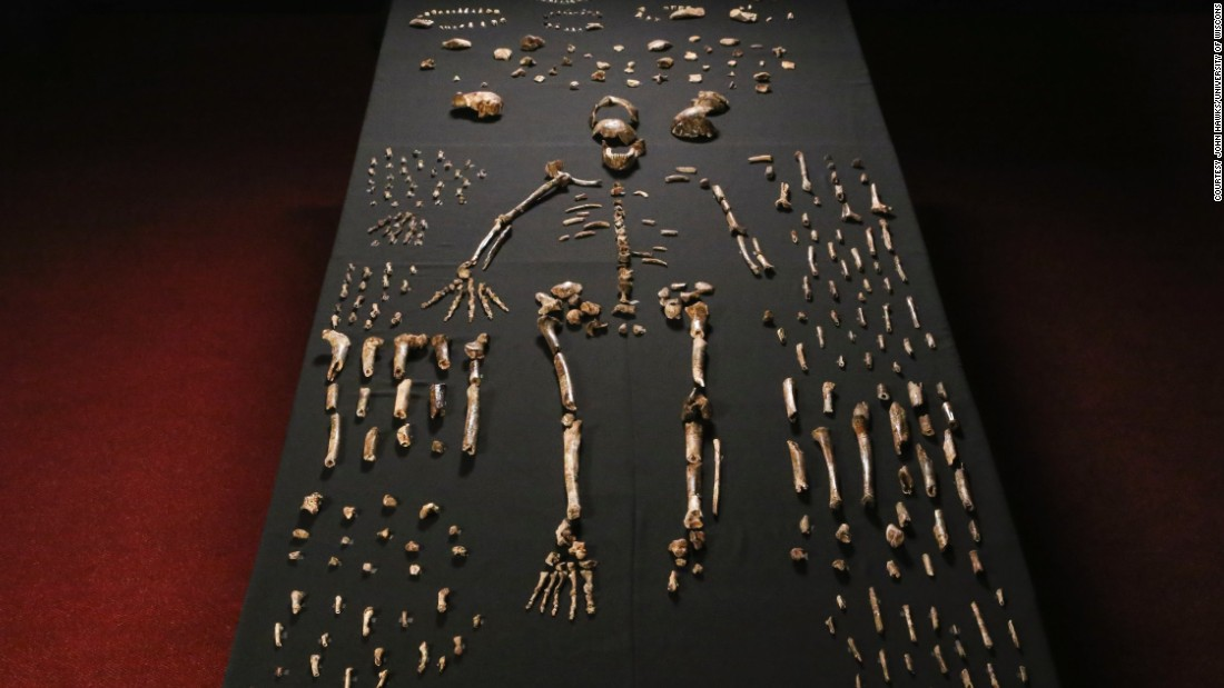 Over 1,500 fossils were uncovered in total. It is believed Homo naledi stood approximately 1.5 meters (about 5 feet) tall and weighed about 45 kilograms (almost 100 pounds).