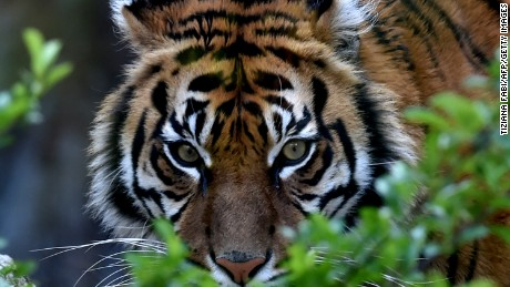 For first time in 100 years, tiger population growing