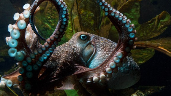 Inky, a common New Zealand octopus, defied the odds to make a daring break for freedom.