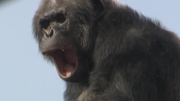 Chimp on A Wire moos pkg erin_00004222.jpg