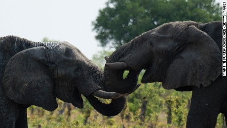 African elephants are pictured on November 18, 2012 in Hwange National Park in Zimbabwe. AFP PHOTO MARTIN BUREAU        (Photo credit should read MARTIN BUREAU/AFP/Getty Images)