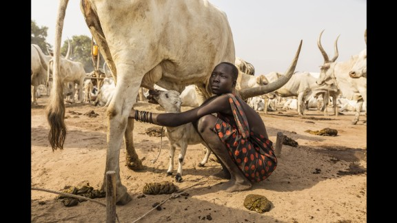 A Mundari girl helps a lamb to suckle on a cow's teat. It is not just the Mundari people who benefit from the cow's milk.