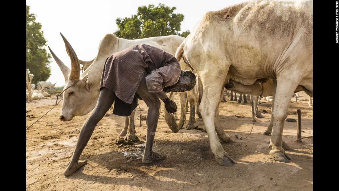 A Mundari man takes advantage of the purported antibacterial properties of the cow's urine. An extra benefit is that ammonia in the urine will dye his hair orange.
