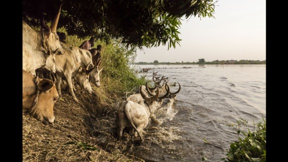 The Mundari encourage their cattle to cross the Nile to get to an island where they will graze for the next few months. Finding new pasture is problematic, due to the prevalence of landmines laid during the war.