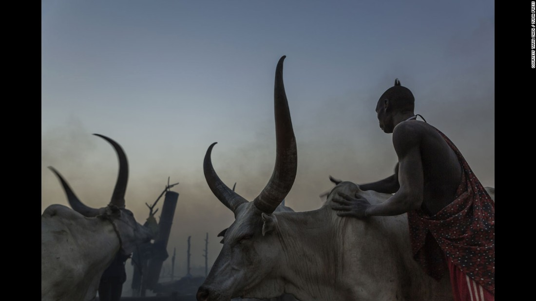 A Mundari man washes his cows with ash to protect them from insects during the night. The camp drums can be seen in the distance.<br />