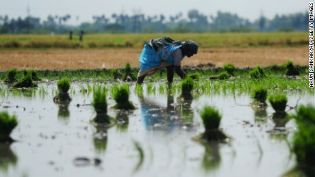 Rice plants absorb high levels of arsenic from the water and soil.