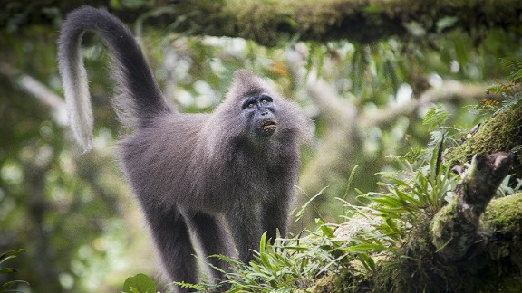 First spotted in 2003 in Tanzania, the Kipunji monkey -- one of Africa