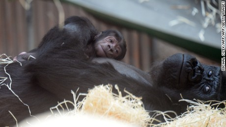 TOPSHOT - Shinda, a western lowland gorilla, holds her new born as they rest at the Zoo in Prague,on April 24, 2016.   Shinda's  baby was born on 23rd April.  / AFP / Michal Cizek        (Photo credit should read MICHAL CIZEK/AFP/Getty Images)