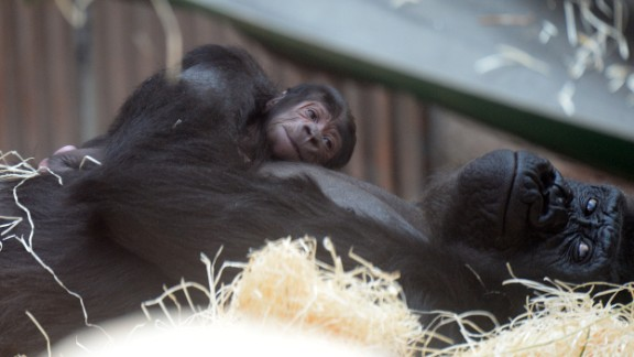 TOPSHOT - Shinda, a western lowland gorilla, holds her new born as they rest at the Zoo in Prague,on April 24, 2016.   Shinda