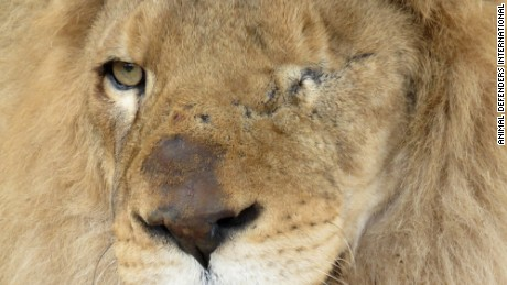 Ricardo is one of the 24 lions being rescued from a circus in Peru.