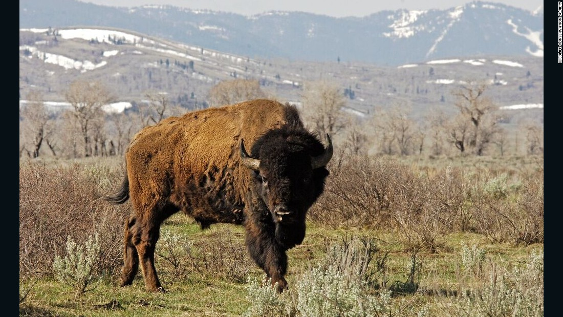 A teen was gored after walking between two fighting bison at a North Dakota national park