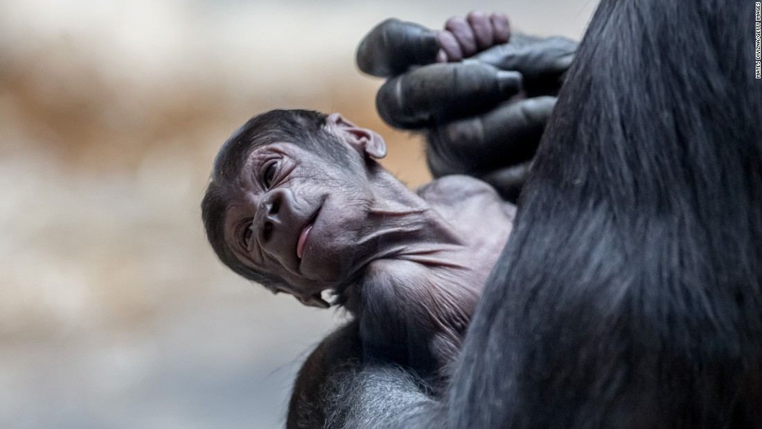 A gorilla holds her 5-day-old baby Wednesday, April 27, at the Prague Zoo in Prague, Czech Republic.