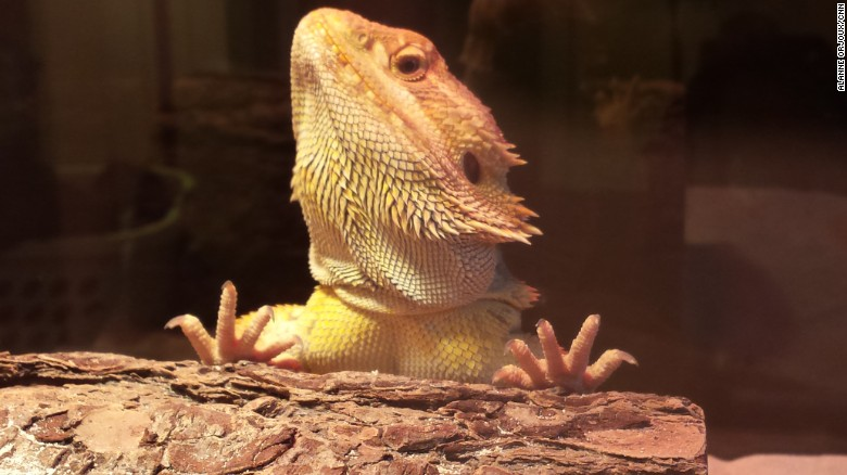 Lizards Have Rem Sleep Just Like People Cnn