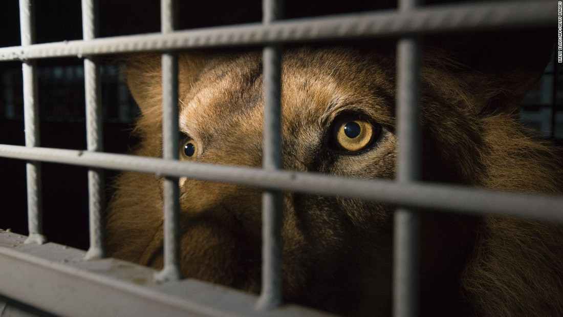 "A lion is seen in a cage after arriving at an airport in Johannesburg on Saturday, April 30. Thirty-three lions, many of them in poor health,<a href=""http://www.cnn.com/2016/04/27/world/largest-lion-airlift-rescue-africa-irpt/"" target=""_blank""> were rescued and returned to Africa</a> after Colombia and Peru banned the use of wild animals in circuses. They will now live in an animal sanctuary in South Africa."