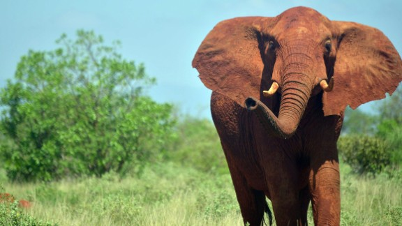 Should the United States allow imports of elephant body parts from Zimbabwe and Zambia?