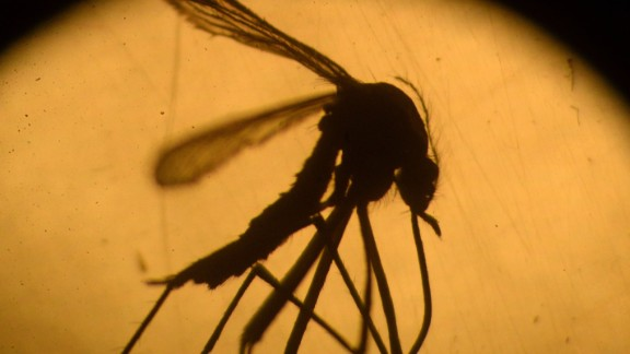 An Aedes aegypti mosquito, which can carry the Zika virus.
