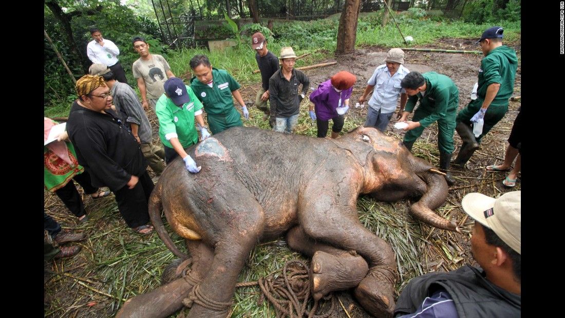 Volunteers try to move Yani, a 37-year-old Sumatran elephant, from a zoo in Bandung, Indonesia, on Wednesday, May 11. The sick elephant later died.