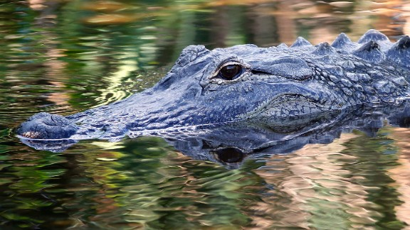 """A Tennessee police department is warning residents to stop flushing drugs down their toilet and sinks out of fear they could create """"meth gators."""" This alligator was photographed in Florida in 2016."""