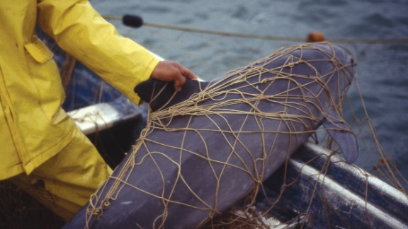 A vaquita trapped and killed in a gill net.