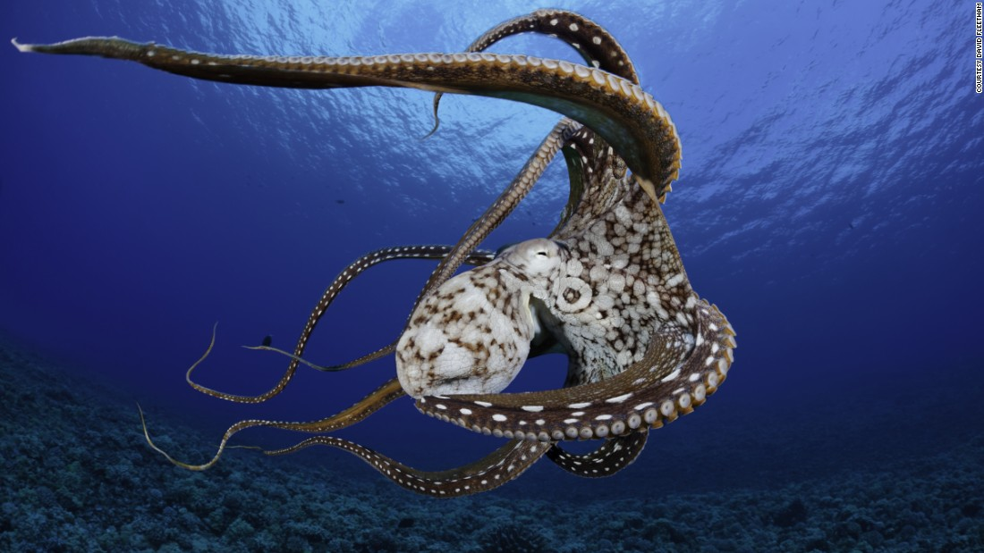 This eight-armed cephalopod was photographed in Hawaii.