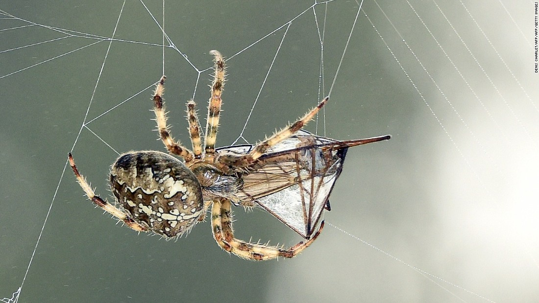 The Golden Orb Weaver produces seven types of silk for its web. The strongest is dragline silk, which Vollrath's group uses as a model for a new type of biomedical implant. Spider silk is difficult to manufacture in bulk as reeling is extremely labor intensive and spiders cannot be farmed as they are cannibals.