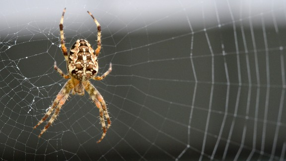 An Orb-weaver spider (Araneus diadematus)  is pictured on its web on September 26, 2013 in Rennes, western France. AFP PHOTO / DAMIEN MEYER        (Photo credit should read DAMIEN MEYER/AFP/Getty Images)