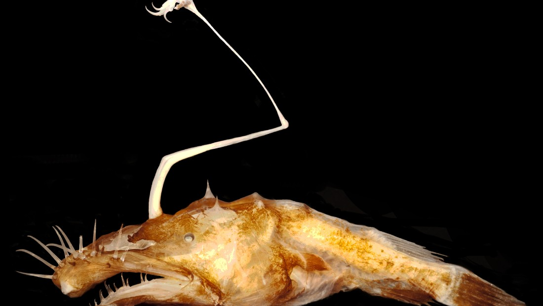 This anglerfish takes the award for the ugliest entry in this year's list. Scientists found the 2-inch-long Lasiognathus dinema in the Gulf of Mexico while assessing damage from the Deepwater Horizon oil spill.