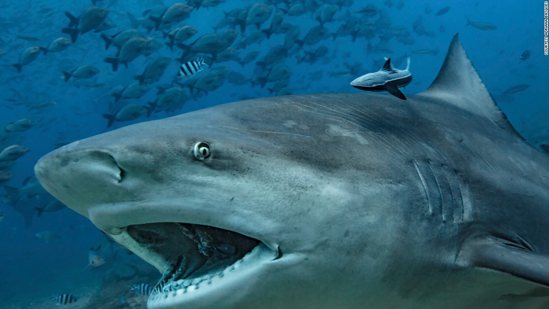 Among the most aggressive of shark species, bull sharks live throughout the world in shallow, warm ocean waters. However, they can also adapt to swimming in freshwater rivers.