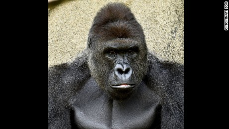 Cincinnati police investigating zoo incident involving gorilla, boy