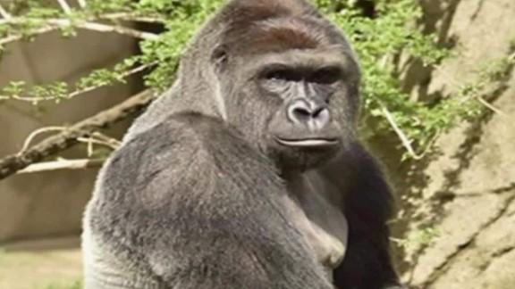 wkrc cincinnati gorilla shot zoo pkg_00004911.jpg