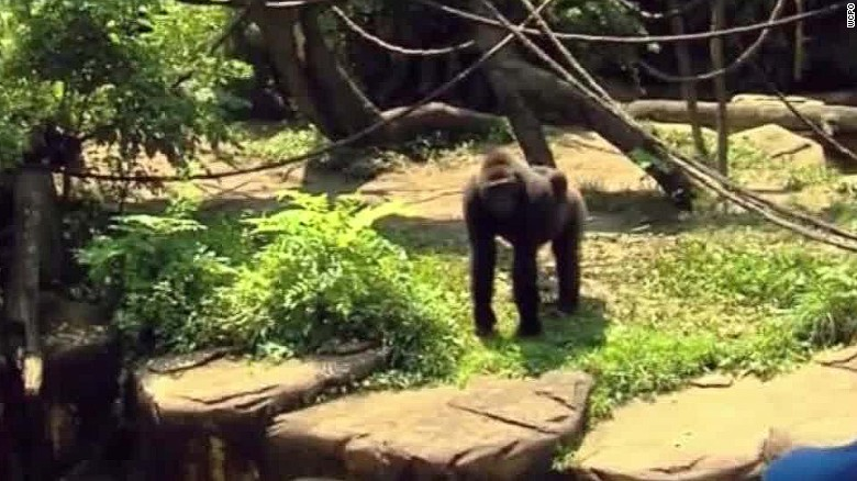 Gorilla Shot To Save Child At Cincinnati Zoo Cnn