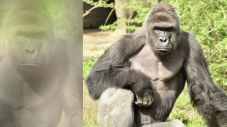 c6805e912aca Did Cincinnati Zoo really have to kill a rare gorilla  - CNN