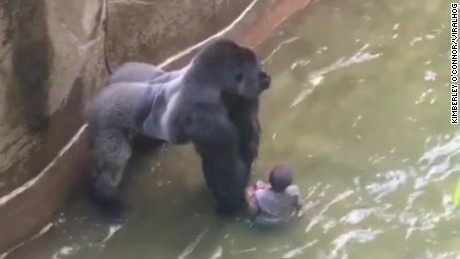 Gorilla drags 3-year-old boy in shocking video