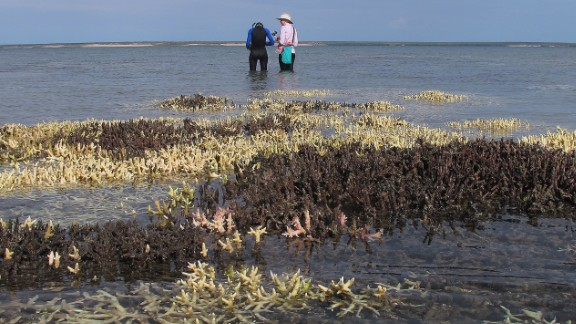 Surveying dead coral in shallow waters at Cygnet Bay, Western Australia, April 2016