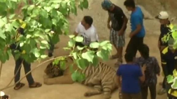 relocating tigers thailand kristie lu stout_00011929.jpg
