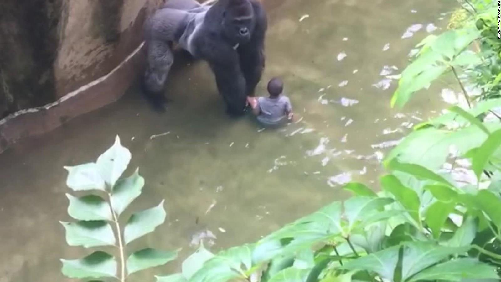 Mom calls 911 after son falls into gorilla enclosure