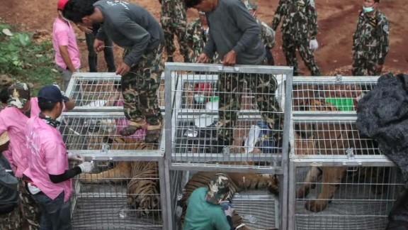 thai tiger temple dead cubs pkg curnow _00013128.jpg