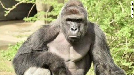 Gorilla drags 3-year-old boy